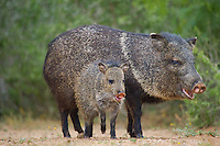 650520299 wild javelinas or collared peccaries dicolytes tajacu forage near a waterhole on santa clara ranch in starr county rio grande valley texas united states
