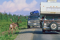 Tourists in vehicle on the Denali Park road photograph a bull caribou in summer velvet alters, Denali National Park, Alaska