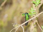 Male buff-winged starfrontlet, Coeligena lutetiae. Yanacocha Reserve, Ecuador
