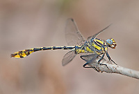 Insects: dragonflies A-E (common names)