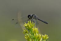 362690016 a wild male black meadowhawk sympetrum danae perches on a plant stem in mono county california