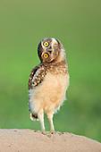 Burrowing Owl (Athene cunicularia), Pantanal, Brazil