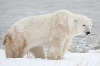 Polar Bear standing on the shore of Hudson Bay as the tide comes in