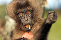 Gelada infant aged 12-18 months (Theropithecus gelada), Simien Mountains National Park, Ethiopia.