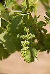 Chile Wine Country:  Grape buds forming in Spring at Concha Y Toro Winery, near Santiago..Photo #: ch465-32904.Photo copyright Lee Foster, 510-549-2202, www.fostertravel.com, lee@fostertravel.com.