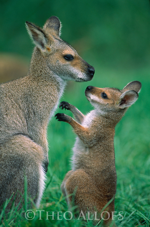 Mother and Baby Red Wallaby, New South Wales, Australia