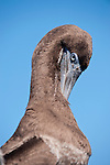 Sea of Cortez, Baja California, Mexico; a Brown booby (Sula leucogaster) bird preaning it's feather with it's beak