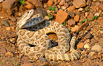 Prairie Rattlesnake, Crotalus viridis viridis, curled ready to strike, showing rattle, USA, Controlled Situation.USA....