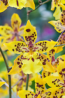 Orchid Odontocidium Tiger Crow 'Golden Girl', HCC/AOS