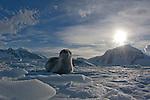 Leopard seal (Hydrurga leptonyx) on Ice, Danco Island, Antarctic Peninsula