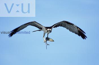 Osprey flying with a fish in its talons (Pandion haliaetus), North America.