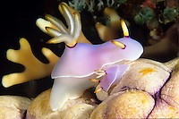Adult and young nudibranch<br />