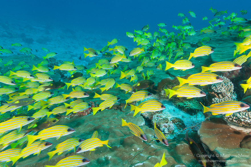 Nilandhoo Kandu, Nilandhoo Island, Huvadhoo Atoll, Maldives; a large aggregation of Bluestripe Snapper and Striped Large-eye Breams swimming into the current while tucked behind a dome of Porites sp. corals