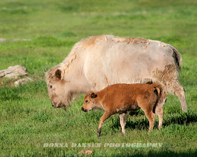 White buffalo were considered sacred by some American Native tribles; they are exceedingly rare.