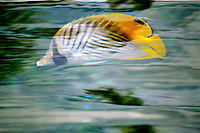 A kikakapu (or Hawaiian butterflyfish) seems to dance in the water as sunlight reflects on the water's surface, Big Island.
