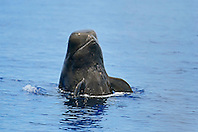 Short-finned Pilot Whale spyhopping, Globicephala macrorhynchus, Big Island, Hawaii, Pacific Ocean.
