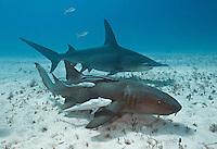 RR1717-D. Atlantic Nurse Shark (Ginglymostoma cirratum) swims in front of Great Hammerhead Shark (Sphyrna mokarran) over shallow sand bottom. Bahamas, Atlantic Ocean.<br /> Photo Copyright &copy; Brandon Cole. All rights reserved worldwide.  www.brandoncole.com