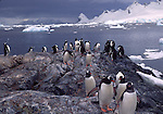 gentoo penguins walking from the sea