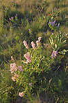 Pink lupine bloom among purple lupine and Indian paintbrush near the Arizona Snowbowl outside of Flagstaff, Arizona.