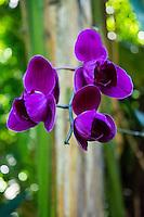 A close-up of deep purple orchids at Hawai'i Tropical Botanical Garden, Onamea, Big Island of Hawaiʻi.
