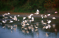 525000001 a wild flock of great egrets casmerodius albus take flight from a small pond in tamaulipas state mexico