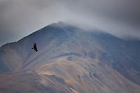 Golden eagle soars in the skies of Denali National park, interior, Alaska.