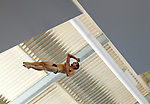 26 MAR 2011:  JP Perez of Purdue University competes in the Platform Diving Finals during the Division I Men's Swimming and Diving Championship held at the University of Minnesota Aquatics Center in Minneapolis, MN.  Carlos Gonzalez/ NCAA Photos