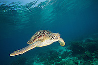 A green sea turtle (Chelonia mydas) swimming in the shallows of Apo Island, Philippines.