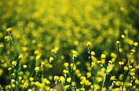 Wild mustard flowers, California, USA<br />
