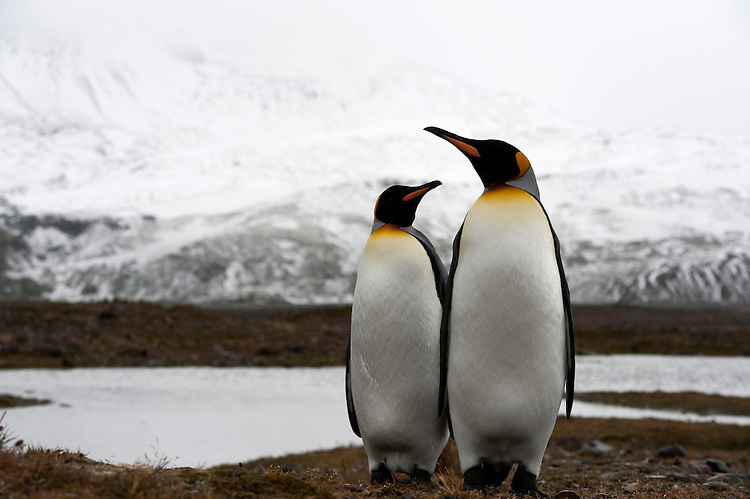 A pair of King Penguins (Aptenodytes patagonicus) , Fortuna Bay, South Georgia. South Georgian landscape in the background