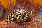 Zebra crab with eggs (Zebrida adamsii) on fire sea urchin (Mespilia globulus)