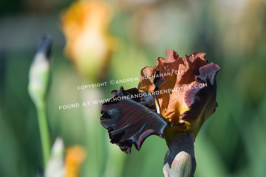 """""""The iris 'Solar Fire' offers up a range of warm colors from pale yellow, to bronze, to coppery-orange, and all the way through to purple."""""""
