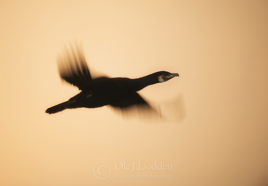 Great Cormorant (Phalacrocorax carbo) in flight, Hornøya, Varanger, Norway