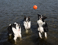 Border collies play in the Sacramento river.