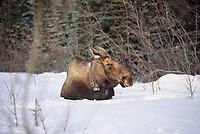 Radio collared cow moose bedded down in snow, Denali National Park, Alaska