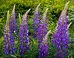 A group of Purple Lupines in Sugar Hill, NH, USA