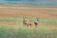 673080103 wild pronghorn antelope females and young antilocarpa americana wandering the grassland on ash creek wildlife management area modoc county california