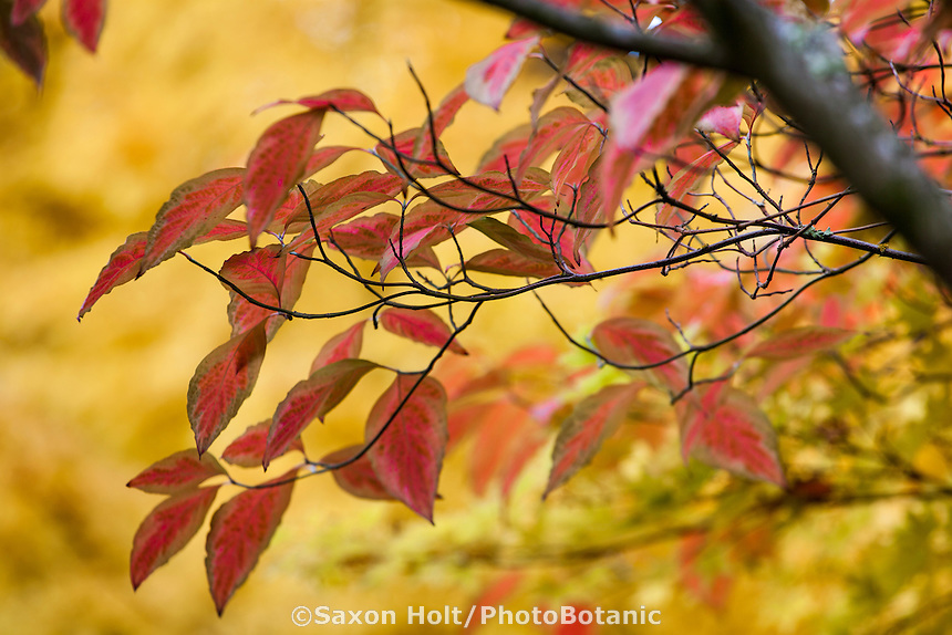 Red fall color on branch of Variegated dogwood tree (Cornus florida 'Cherokee Sunset'); Autumn  Edelson Garden