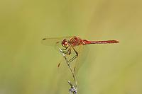 362740003 a wild male saffron-winged meadowhawk dragonfly sympetrum costiferum perches on a dead stick at de chambeau ponds mono county califorina united states