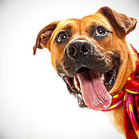 Bosco is a happy Rhodesian Ridgeback mix up for adoption at the Sacramento city animal shelter on March 28, 2013.