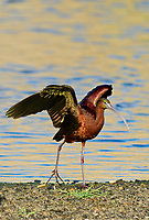 550100022 a wild glossy ibis plegadis falcinellus in breeding plumage performs a wing stretch along the los angeles river in the sepulveda basin in los angeles county california approximately 1500 miles west of its normal range