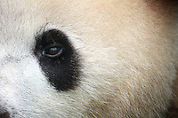 The Giant Panda - China