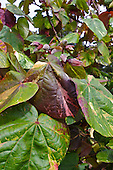 Variegated hau leaves and flower buds, Big Island.