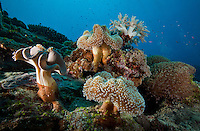 Coral garden, including a variety of soft leather and cauliflower corals, Yap Micronesia. (Photo by Matt Considine - Images of Asia Collection)