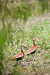 Columbia Ranch, Brazoria County, Damon, Texas; a pair of Black-bellied Whistling Ducks (Dendrocygna autumnalis) walking up the bank at the water's edge