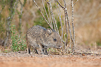 650520153 a baby javelina or collared peccary dicolytes tajacu on beto gutierrez ranch hidalgo county texas united states