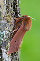 Ruby Tiger moth {Phragmatobia fuliginosa} Oxfordshire, UK. July.
