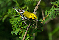 591400030 a wild male black-throated green warbler setophaga virens songbird on south padre island texas united states