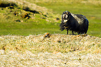 Gray Icelandic sheep on a windy day