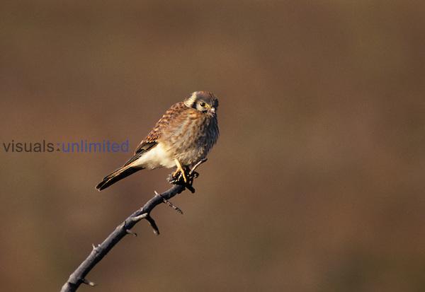 (Falco sparverius) female, Yellowstone National Park, Wyoming, USA